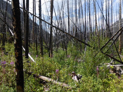 Fire-damaged-trail-along-Colonel-Creek,-Mount-Robson-Provincial-Park