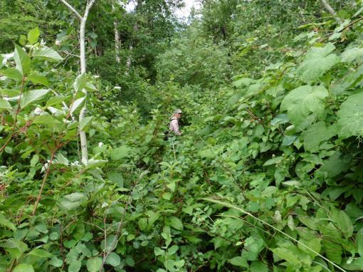 Pushing Through Wet Brush, Waterton Lakes National Park